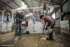 Shearing (Colour) : Shearers
